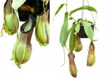 Nepenthes spathulata x hamata [BE-3712] - [BEST OFFER]
