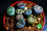 "Lithops ssp. ""GREY MIX"""