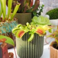Dionaea muscipula 'Red Green'