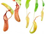 Nepenthes fusca [BE-3070]