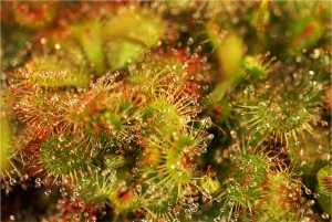 Drosera sp. 'South Africa'