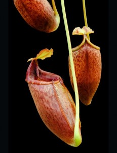 Nepenthes mira BE-3947