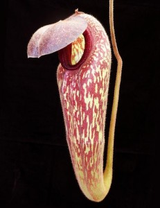 Nepenthes klossii (BE-3452)