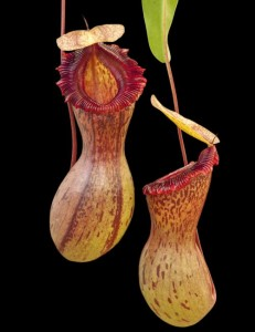 Nepenthes ventricosa 3278