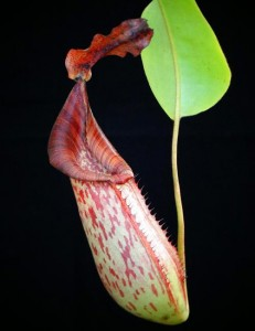 Nepenthes (veitchii x lowii) x fusca (BE-3937)