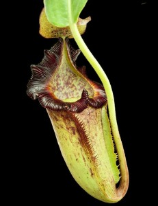 Nepenthes maxima x (lowii x macrophylla) (BE-3709)