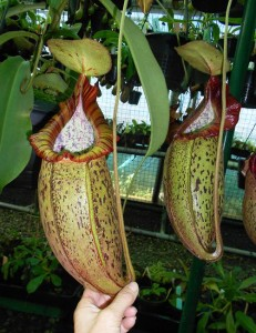 Nepenthes spathulata x spectabilis (BE-3314)