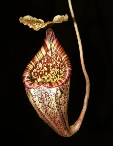 Nepenthes burbidgeae (BE-3848)