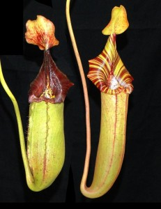 Nepenthes (veitchii x lowii) x robcantleyi (BE-3841)