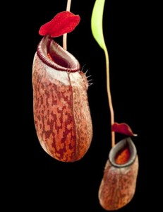 Nepenthes aristolochioides x ventricosa (BE-3447)