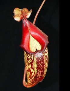 Nepenthes maxima x talangensis (BE-3927)