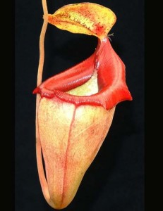 Nepenthes flava (BE-3652)
