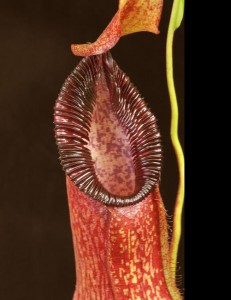 Nepenthes petiolata x hamata (BE-3725)