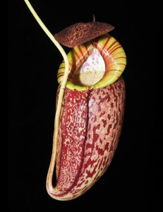 Nepenthes spectabilis x tenuis (BE-3884)