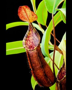 Nepenthes lowii x tentaculata (BE-3970)
