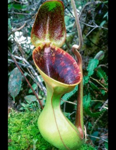Nepenthes lowii (BE-3100)