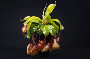 Nepenthes 'Sam'