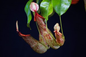Nepenthes 'Mohito'
