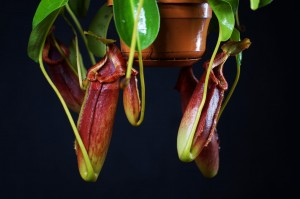 Nepenthes maxima x lowii x macrophylla