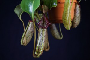 Nepenthes maxima x robcantleyi