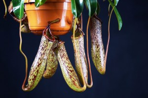 Nepenthes 'Spotty'