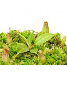 Nepenthes burbidgeae x (maxima x talangensis) BE-3764