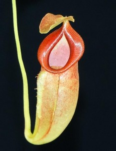 Nepenthes spathulata x jacquelineae BE-3894
