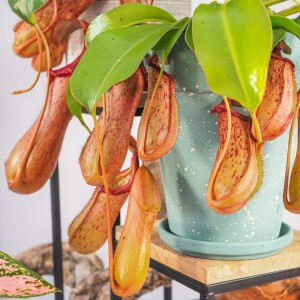 Nepenthes 'Rob' - 30cm