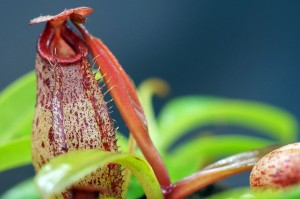 Nepenthes burbidgeae x aristolochioides (BE-3784)