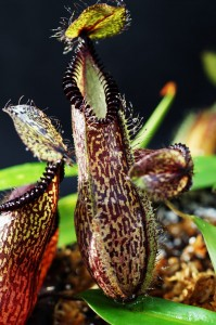 Nepenthes hamata (BE-3380)