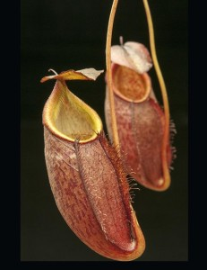 Nepenthes gymnamphora BE - 3078