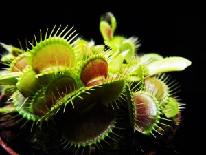 Dionaea muscipula 'Regular Form'