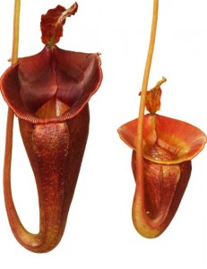 Nepenthes jacquelineae BE-3092