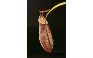 Nepenthes rafflesiana x spectabilis (BE-3951)