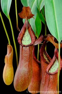 Nepenthes petiolata BE-3913