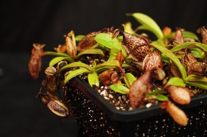 Nepenthes 'Lady Pauline' x hamata (BE-3777)