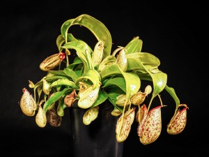 Nepenthes 'hookeriana'