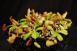 Nepenthes robcantleyi x veitchii (BE-3933)