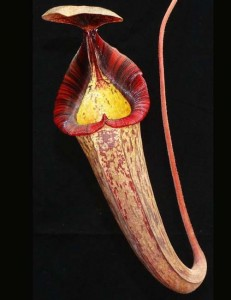 Nepenthes (veitchii x lowii) x spectabilis (BE-3400)