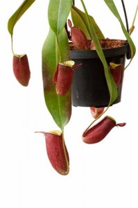 Nepenthes ampullaria Lime Twist