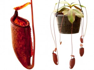 Nepenthes palawanensis (BE-3651)
