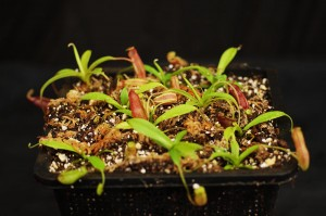 Nepenthes bongso (BE-3036)
