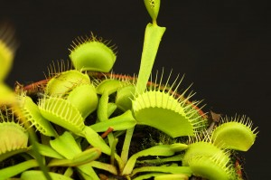 Dionaea 'Yellow Fused'