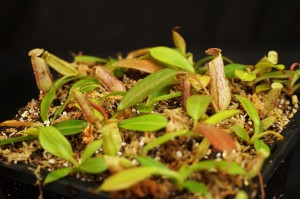 Nepenthes burbidgeae (BE-3834)