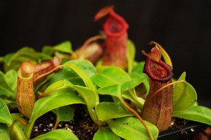 Nepenthes ventricosa x robcantleyi (BE-3923)