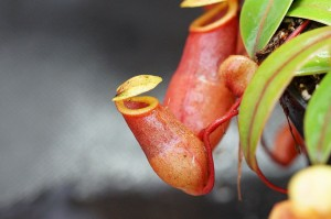 Nepenthes aenigma